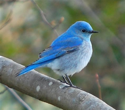 nevada state bird mountain bluebird
