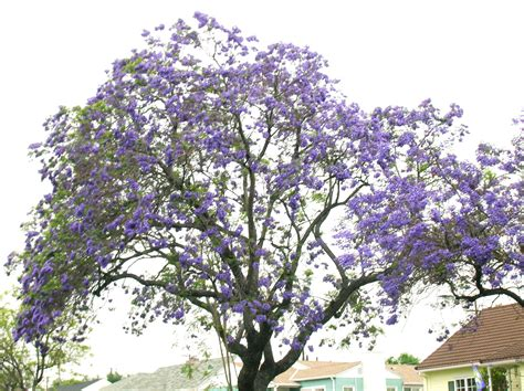 tree with lavender flowers tree with lavender flowers flowers ideas for review