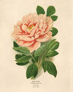 Vintage Flower Botanical Print. Pink Tree Peony Educational