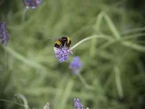 Was Vertreibt Bienen : lavendel schmeckt hummeln bienen und uns friedrichs gartenjahr auss en pflanzen gie en ~ Eleganceandgraceweddings.com Haus und Dekorationen