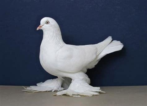 ontario national pigeon show  rare california stop press enterprise