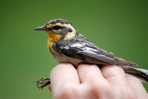minnesota birdnerd warblers 2 common residents of minnesota