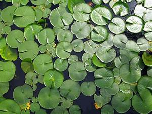 Water Lily Leaves By Magda