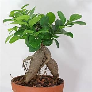 Ficus Ginseng Kaufen : lorbeerfeige ficus ginseng ficus microcarpa ~ Sanjose-hotels-ca.com Haus und Dekorationen