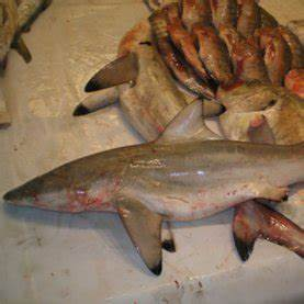 Shark Species Thought to Be Extinct Found in Fish Market ...