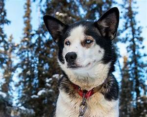 What Makes a Great Sled Dog? Breed, Ambition, Tough Feet ...