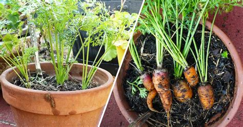 Grow Carrots In Containers  Gardening Channel