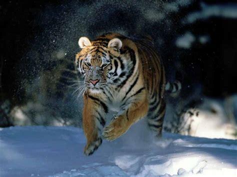 Wallpapers Siberian Tiger