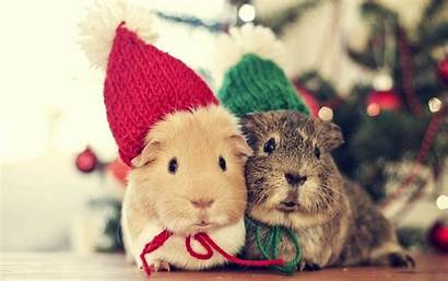 Guinea Pig Christmas Wallpapers Pigs Background Favorite