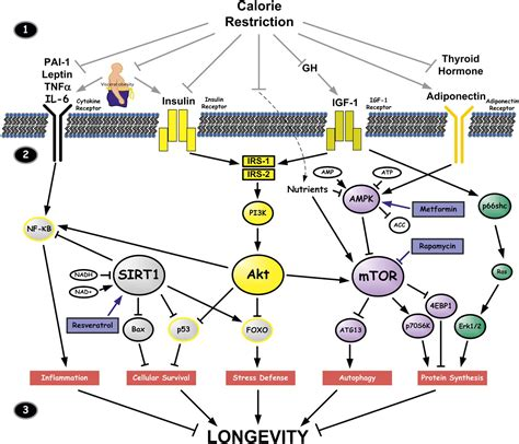 critical role  metabolic pathways  aging diabetes