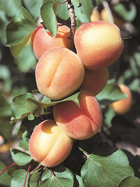 Apricot   tree and fruit   Britannica