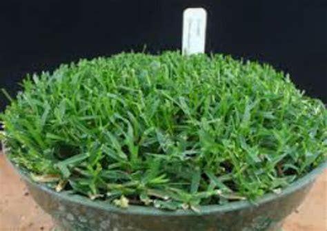 Biji Rumput Bermuda Grass jual toko benih biji rumput bermuda benih bibit rumput
