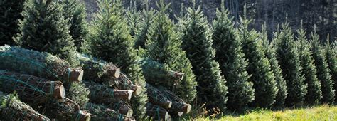 christmas tree lot near me nc tree tree farms in nc