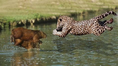 Hungry Jaguar Hunting Family Capybara
