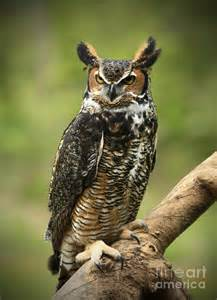 Great Horned Owl Photography