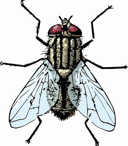 Fly Housefly Clipart Bug Blow Pixabay Flying