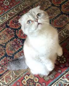 Vets say breeding of Scottish fold cats 'should be BANNED ...