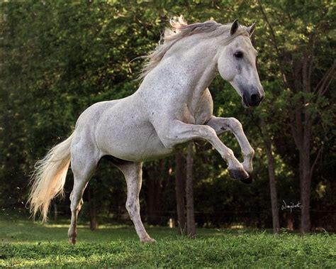 stallion andalusian stud stallions pre grey champion foal