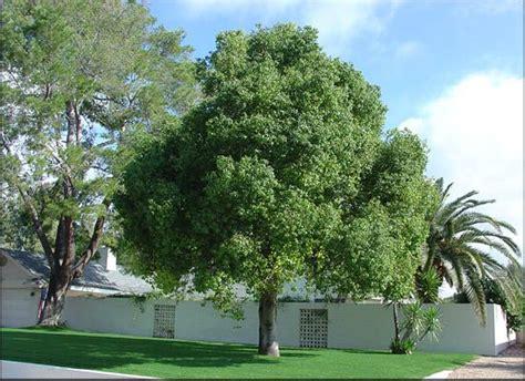 australian bottle tree  sale evergreen trees moon