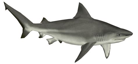 shark transparent png pictures  icons  png