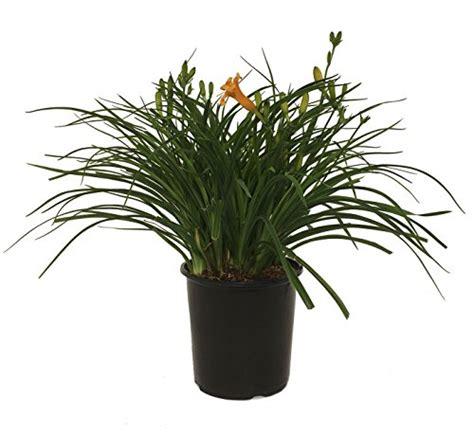 top  stella de oro daylily flower plants seeds nobsoc