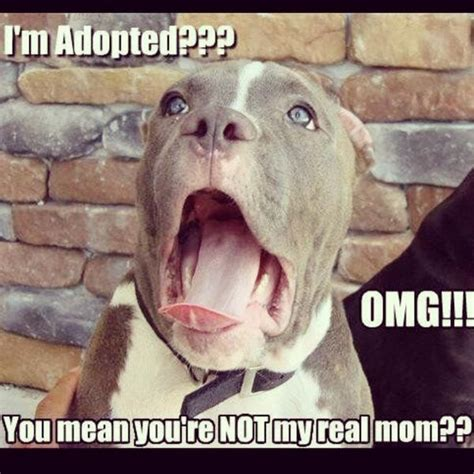 Pitbull Puppy Meme - pin pitbull memes best collection of funny pictures on pinterest