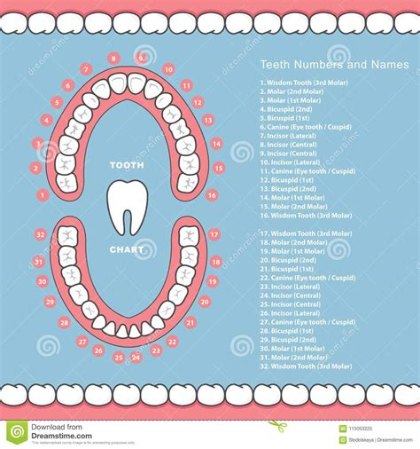 tooth chart  names dental infographics teeth  jaw