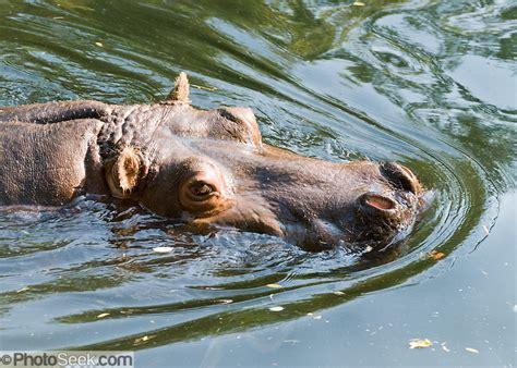 hippopotamus hippo meaning hippos pygmy eating scientific plant reproduction horse river hippopotamidae ancestor potamus usa species aquatic mud water africa