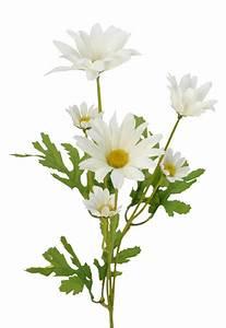 Marguerite Daisy Flower Stem 50cm - Flowers