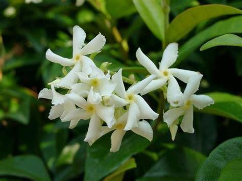 fiori molto profumati gelsomino significato significato fiori il significato