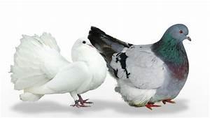 Faire Fuir Les Pigeons : comment elever les pigeons laplusbellehistoiredetouslestemps ~ Melissatoandfro.com Idées de Décoration