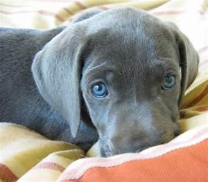 Dark chocolate Weimaraner Puppy with beautiful blue eyes ...