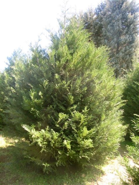fast growing evergreen trees murray cypress fast growing evergreen tree