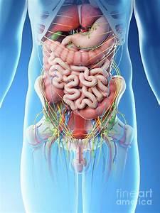 34 Torso Organs Diagram