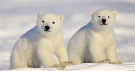 bureau belgique photos ours polaire 10 clichés magnifiques pour la