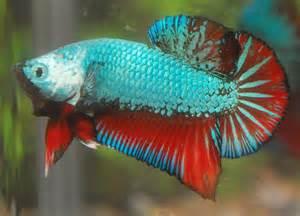 Rare Betta Fish
