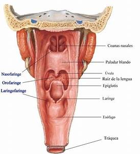 Image Result For Diagram Of The Male Throat