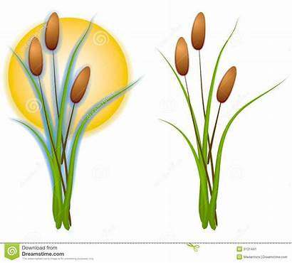 Cattails Clip Clipart Pond Plant Plants Isolated