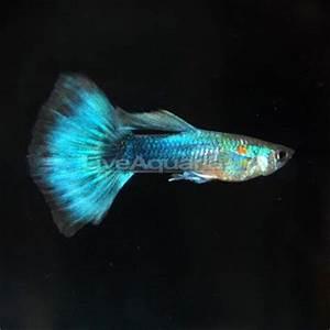 Neon Blue Tux Guppy Freshwater