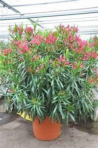 Oleander Winterhart Kaufen : roter oleander von der palmenmann auf kaufen ~ Eleganceandgraceweddings.com Haus und Dekorationen