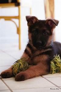 Black and Red German Shepherd puppy #gsd | animals ...