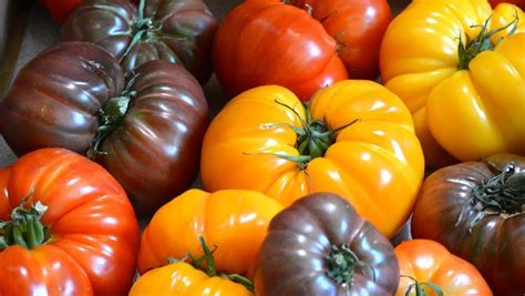 heirloom tomatoes the best varieties for tomato lovers