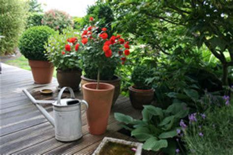 zimmerrosen im topf pflege hochstammrosen pflanzen pflege und schneiden