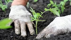 Tomaten Wann Pflanzen : tomaten pflanzen wann ist die ideale pflanzzeit ~ Frokenaadalensverden.com Haus und Dekorationen
