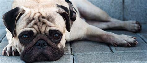 Pug Rescue Of New England