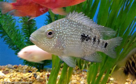 freshwater aquarium fish for tropical tanks