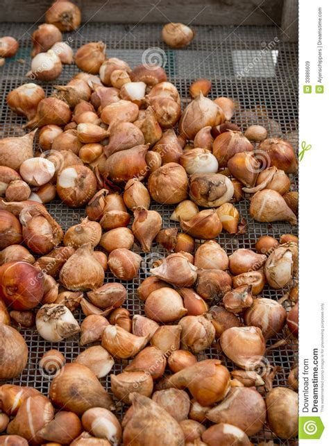many flower bulbs for sale royalty free stock images