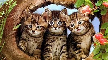 Cats Wallpapers Three Desktop Kittens Kitten Cat