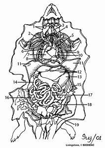 Drawn Rat Anatomy
