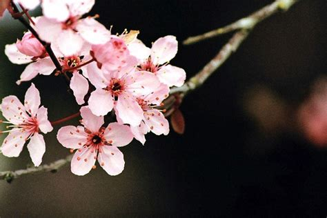 Cherry Blossom Image by Cherry Blossom Desktop Wallpapers Wallpaper Cave